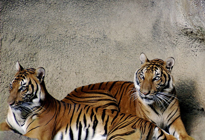 File:Tiger 032.jpg