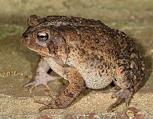 American Toad, Bufo americanus, dorso-lateral ...