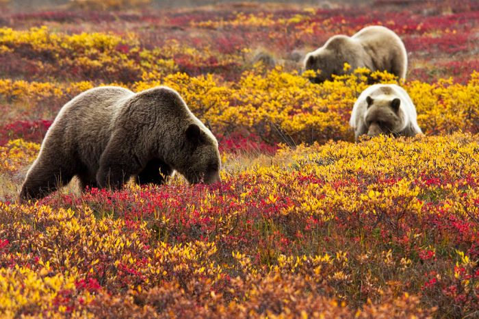 Grizzly Bears in Blueberries (6187113330)