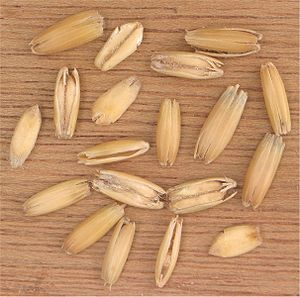 Oat grains in their husks