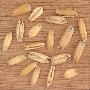 Oat grains in their husks