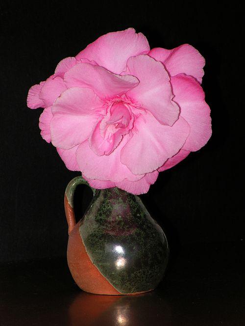 Nerium oleander20100605 19
