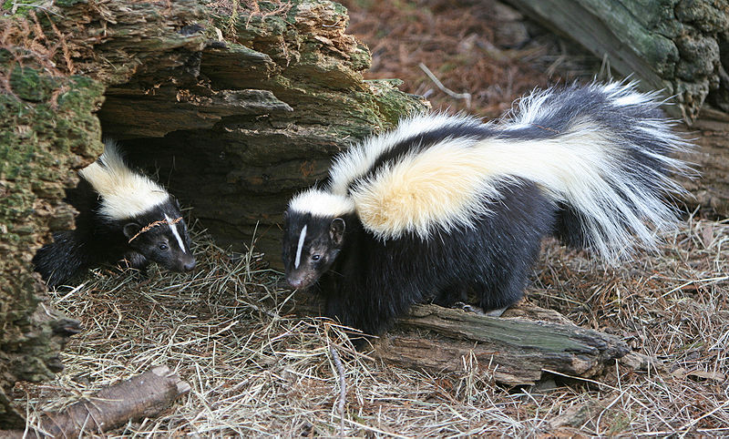 Skunk Lockdown