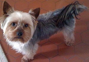 Yorkshire Terrier Simple English Wikipedia The Free