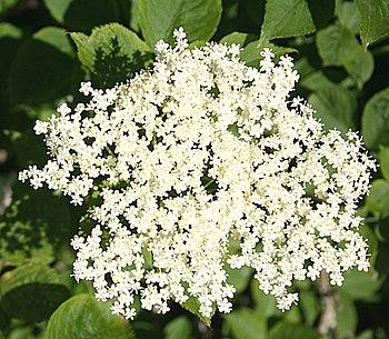 English: Elder Flowers (Sambucus nigra) Just a...