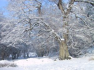 English: Old Oak in Snow
