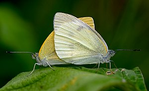 Two Japanese Small Whites – butterflies of the...