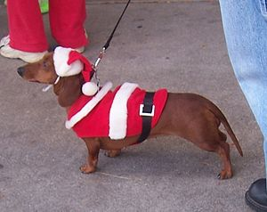 SantaDachshund (Photo credit: Wikipedia)
