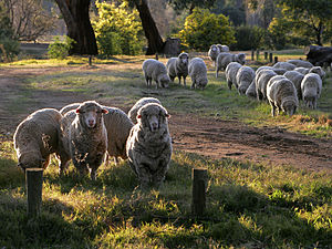 Sheep looking