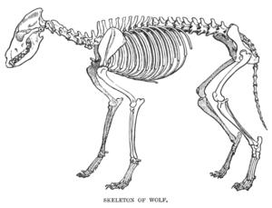 Wolf skeleton