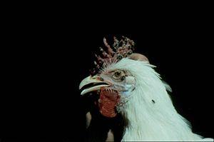 Avian pox - skin affected (chicken)