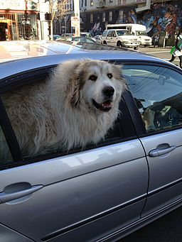 Dog in car windo