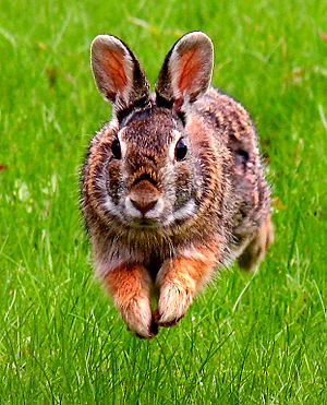 Self made image of Eastern Cottontail