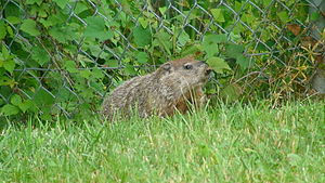 English: Woodchuck