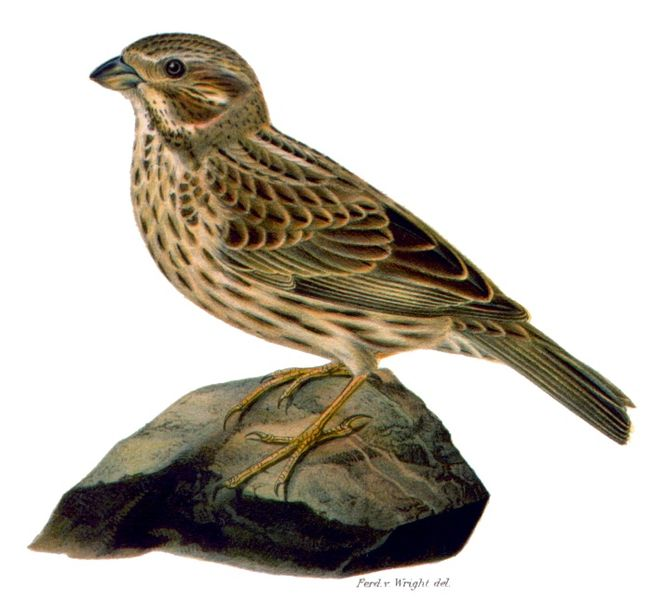 Corn Buntings look a bit) like this