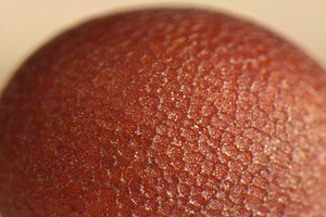 Close-up photo of a mustard seed.