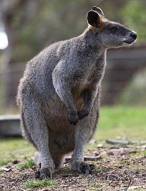 English: Wallabia bicolor - Swamp Wallaby Fran...