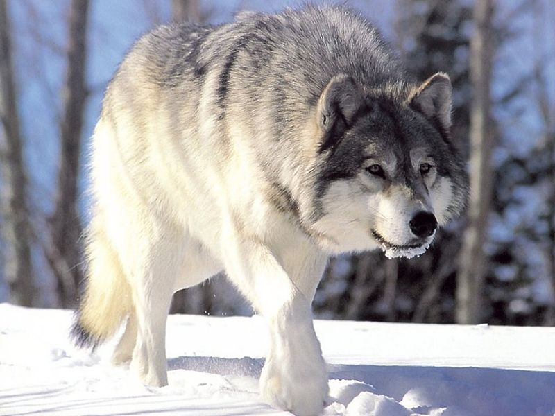 Loup Gris, Canis Lupus, photo Chris Muiden at nl.wikipedia