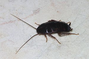 English: An oriental cockroach (female Blatta ...