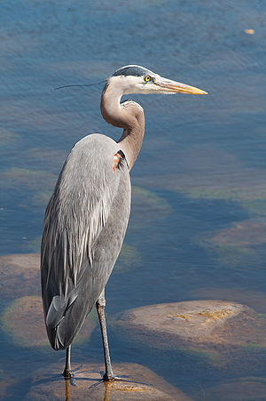 A Great Blue Heron (Ardea herodias), taken in ...