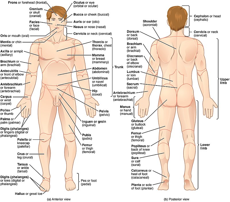 Organ Systems Body Regions and Body Cavities Yay Human Biology – Body Regions Worksheet
