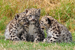 English: Three two-month-old snow leopard (Unc...