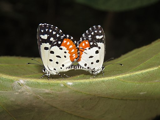 Talicada nyseus - Red Pierrot mating at Peravoor (9)