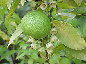 Pomelo on tree