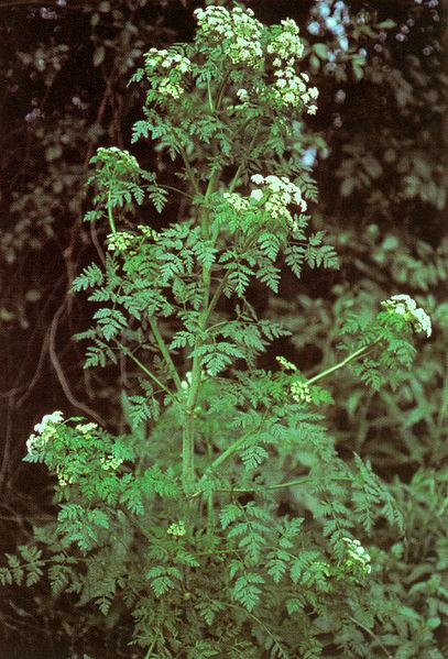 Archivo:Conium maculatum.jpg