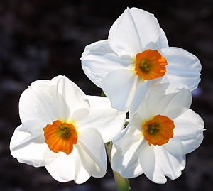 English: Narcissus tazetta hybrid 'Geranium'