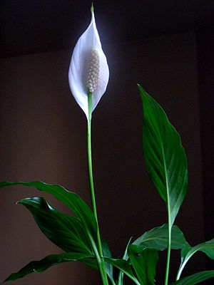 A Picture of Peace Lily Indoor plant