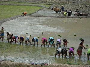 English: Planting Paddy in Ramechhap District ...