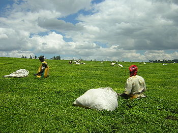 Many of Kenya's leading politicians have vast holdings in its Key agricultural export sector