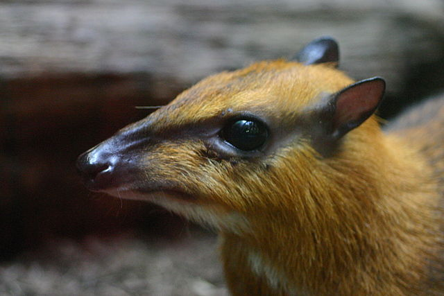 Tragulus napu - Mouse Deer, Brian Gratwicke