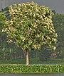 Tree in new leaves (Tectona grandis) I IMG 8133.jpg