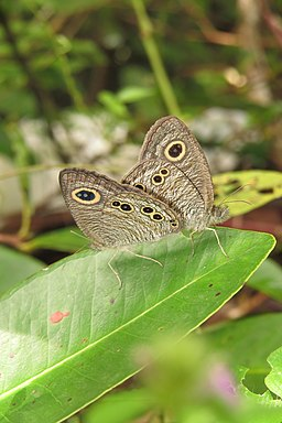 Ypthima baldus Fabricius, 1775 – Common Five-ring mating at Mayyil 2014 (3)