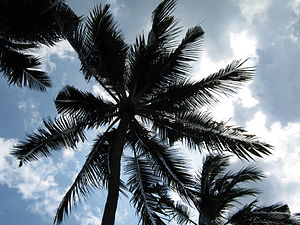 English: Coconut Palm tree on the beach in Nus...