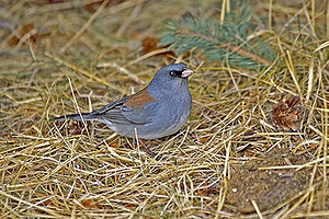 English: The Dark-eyed Junco can be found most...