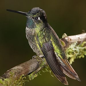 Magnificent Hummingbird, Guadalupe. Found at f...