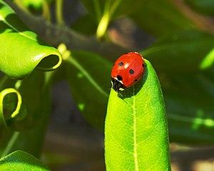 Lady bug (Coccinella septempunctata) on a leaf