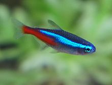 Image result for neon tetra