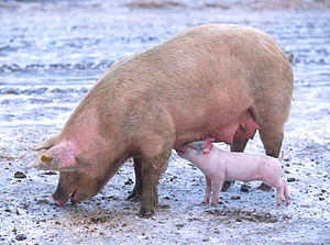 Sow with piglet 1