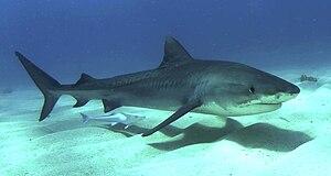 Juvenile tiger shark Bahama's