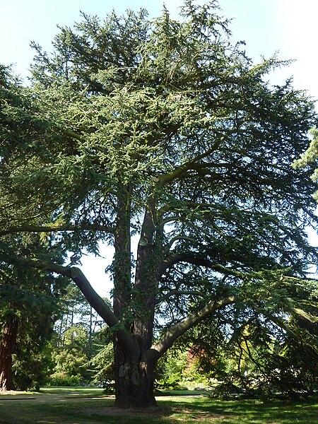 "File:Cedrus libani ""Cedar of Lebanon"" (Pinaceae) (tree).JPG"