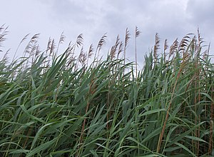 Common Reeds, growing on the Chesapeake Bay, M...