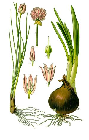 Chives  Simple English Wikipedia, the free encyclopedia