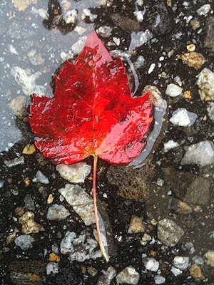 A single red maple leaf lies in a water-covere...