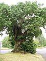 Baginton oak tree july06.JPG