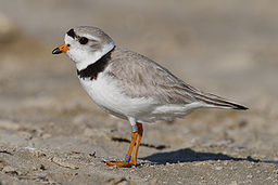 The Piping Plover - Saskatchewans Endangered Species