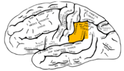 Grey726 supramarginal gyrus.png